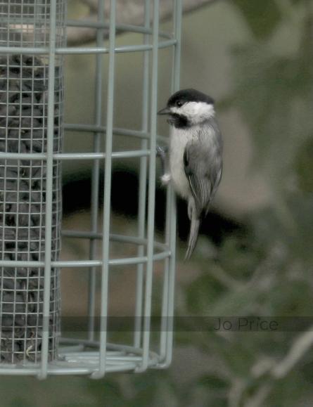 chickadee - soft (greys)