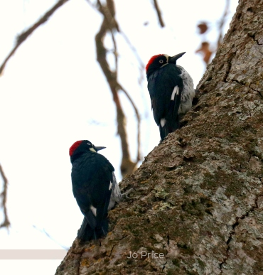 acorn woodpeckers - IG