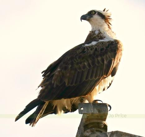 osprey - IG